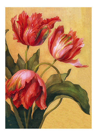 Double Tulips These prints are made at our location in Seattle, WA. They have a thick, white backing board and are sealed in clear bags. Each is suitable for framing at 11 inches x 14 inches or can be used as is for wall display. Our goal is to bring back to life these wonderful illustrations from old-fashioned, children's books and from early advertising art.