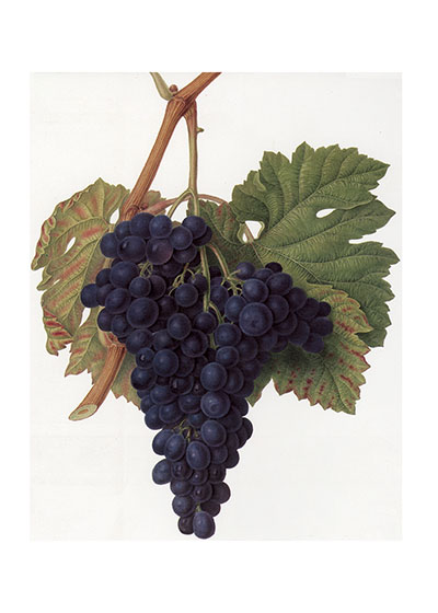 Purple Grapes | Wine and Spirits Greeting Cards