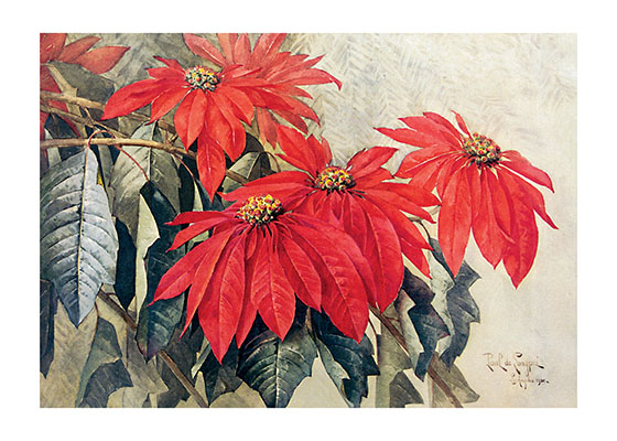 Poinsettias  BLANK INSIDE  Our blank notecards are custom printed at our location in Seattle, WA. They come bagged with an envelope. We love illustration art from old children's books and early, printed ephemera. These cards reflect this interest in bringing delightful art back to life
