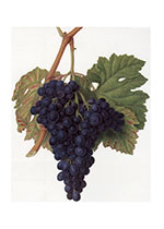 Purple Grapes (Wine and Spirits Art Prints)