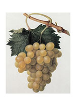 White Grapes (Wine and Spirits Art Prints)